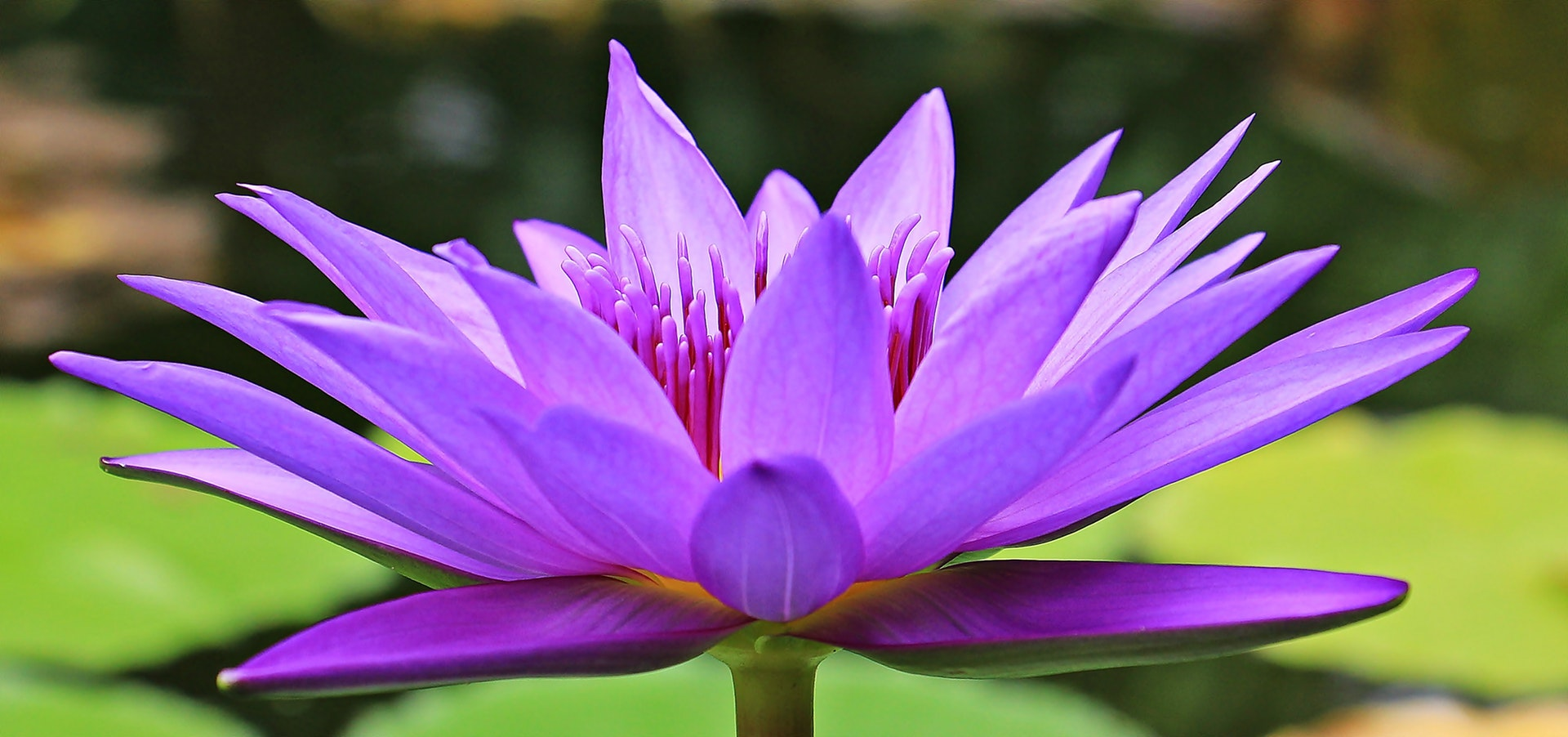 Reiki as a Purple water lily